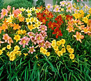 Robertas 9-piece Immense and Fragrant Reblooming Daylilies - M53066