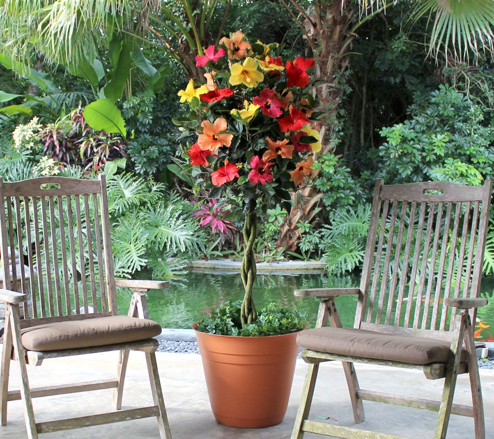 Cottage Farms Tutti Frutti Hibiscus Patio Tree - M46267