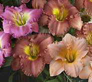 Cottage Farms 6-pc. Fragrant Re-blooming Daylily Collection - M48967