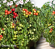 Robertas 6-pc Vegetalis Sweet Trailing Patio Tomatoes Auto-Delivery - M58167