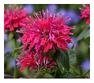 Cottage Farms 4-Piece Cherry Pops Sugar Buzz Monarda - M115168