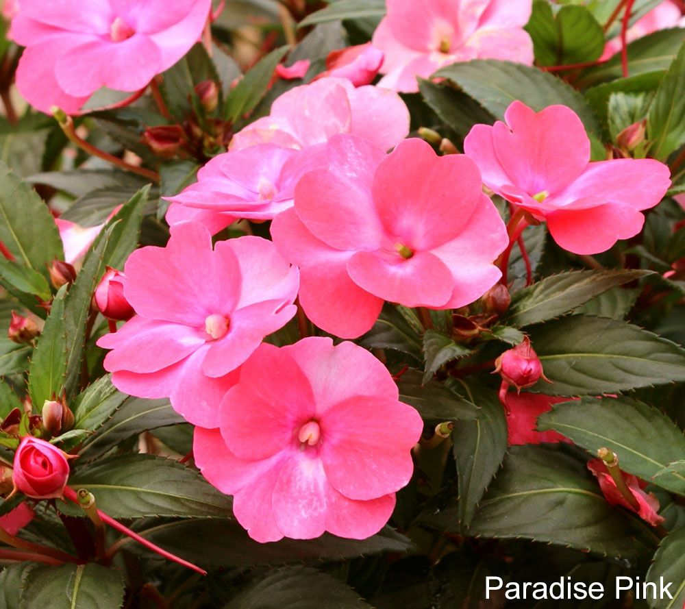 Cottage Farms 6-piece Jewel Tones Sunpatiens Collection