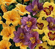 Cottage Farms 9-piece Everblooming Stella DOro Daylily Col. - M48968
