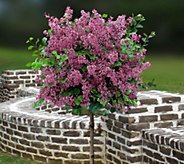 Cottage Farms Red Pixie Lilac Patio Tree - M53268