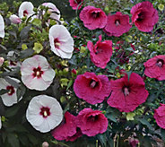 Cottage Farms 2-piece Jamboree Giant Hibiscus Collection - M48969