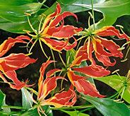 Robertas 4-piece Gloriosa Climbing Lilies - M53070