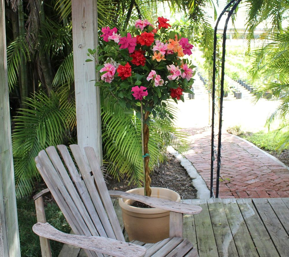 Cottage Farms Braided Double Flower Hibiscus 4 Color Tree - Page 1 ...