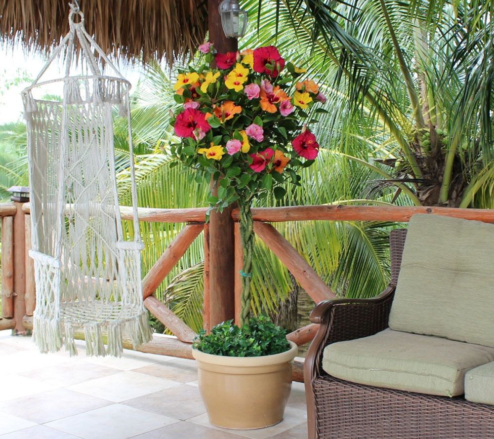 Cottage Farms Key West Sunset Braided Hibiscus Patio Tree