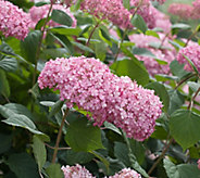 Cottage Farms Spirit II Everblooming Hydrangea Duo - M48972
