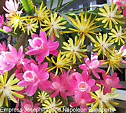 Robertas 2-pc 2 - in - 1 Multi Color Everblooming Disocactus - M49072