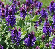 Cottage Farms 4-pc Blue Marvel Salvia - M53272