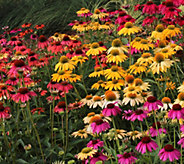 Cottage Farms 4-pc Perpetuals Southwestern Sunrise Coneflowers - M56672