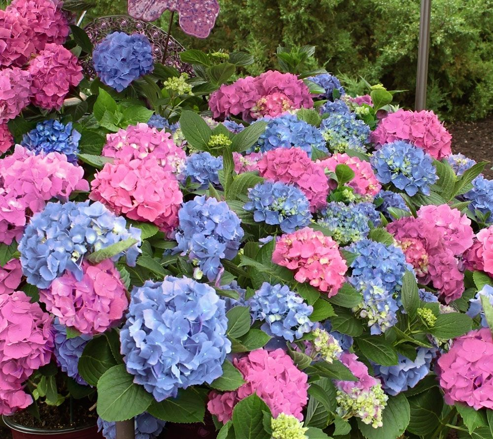 Cottage Farms 2-piece LA Dreamin Hydrangea