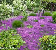 Robertas 36-pc Trample Me English Creeping Thyme Purple - M49073