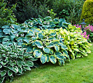Robertas 9-piece Large Leafed Hosta Collection - M53073