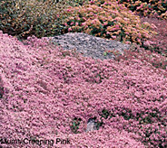 Robertas 36-pc Trample Me English Creeping Thyme Pink - M49074