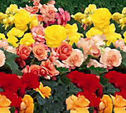 Robertas 8-piece Jumbo Begonia Collection w/Fertilizer - M16675