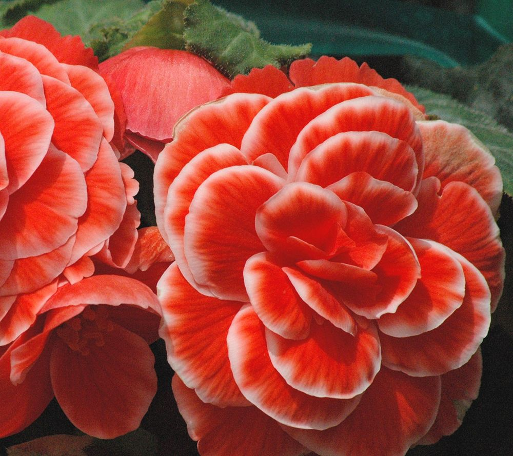 Roberta's 8-piece Jumbo Begonia Collection w/Fertilizer
