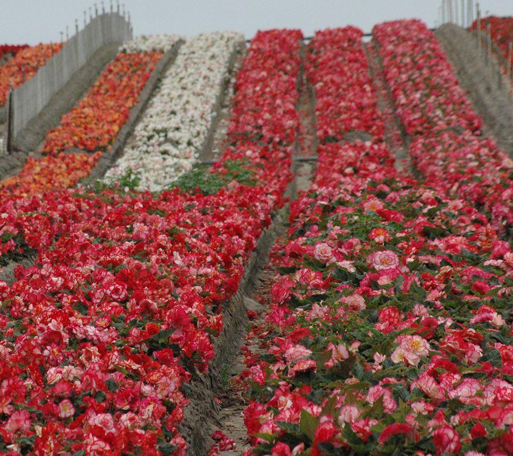 Roberta's 8-piece Jumbo Begonia Collection w/Fertilizer