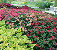 Cottage Farms 6-piece Paradise New Guinea Impatiens Col. - M48975
