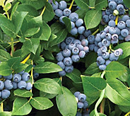 Cottage Farms Razz Blueberry - M53275