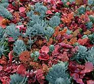 Cottage Farms 2-Piece Red Hot Rio Sedum Tile - M54176
