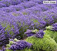 Robertas 6-piece American Bred Phenomenal Lavender - M46377