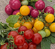 Cottage Farms 3-N-1 Bountiful Harvests Tomato Plant - M53277