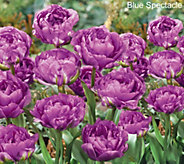 Robertas 30 pc Lush & Plush Double Flowering Tulips - M54877