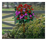 Cottage Farms 36 2-n-1 Trumpeter & Angel FacePatio Tree Rose - M115178