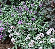 Robertas 4-piece Shade Loving Lamium Groundcover - M53078