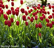 Robertas 20 piece Tall & Graceful Tulip Collection - M54878