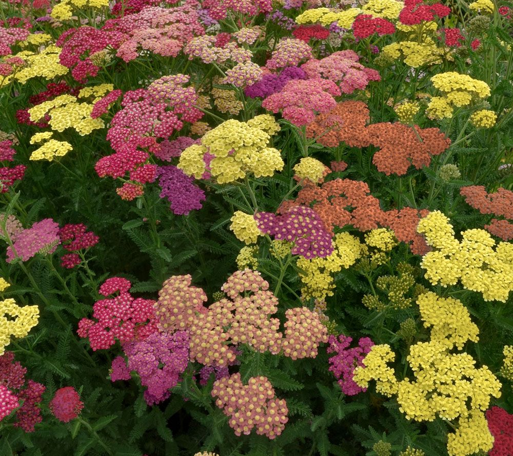 Cottage Farms 4-pc. Perpetuals Sombrero Sunset Yarrow Col.