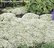 Robertas 36-pc Trample Me English Creeping Thyme White - M49079
