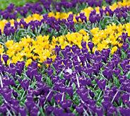 Robertas 50 piece Giant Colorful Crocus Mix - M54880