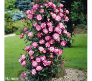 Cottage Farms Color Sizzle Climbing Rose Duo