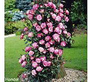 Cottage Farms Color Sizzle Climbing Rose Duo - M46281