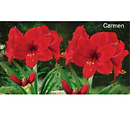 Robertas 2-piece Dutch Amaryllis Holiday Set - M54881