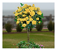 Cottage Farms 24 Sunsprite Patio Tree Rose - M115182