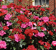 Cottage Farms 2-N-1 Double Knock out Rose - M53282