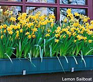 Robertas 20 piece Fragrant Sailboat Narcissus - M54882