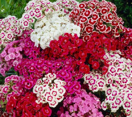 Roberta's 6-pc. Delightful Double Midget Sweet William Coll.