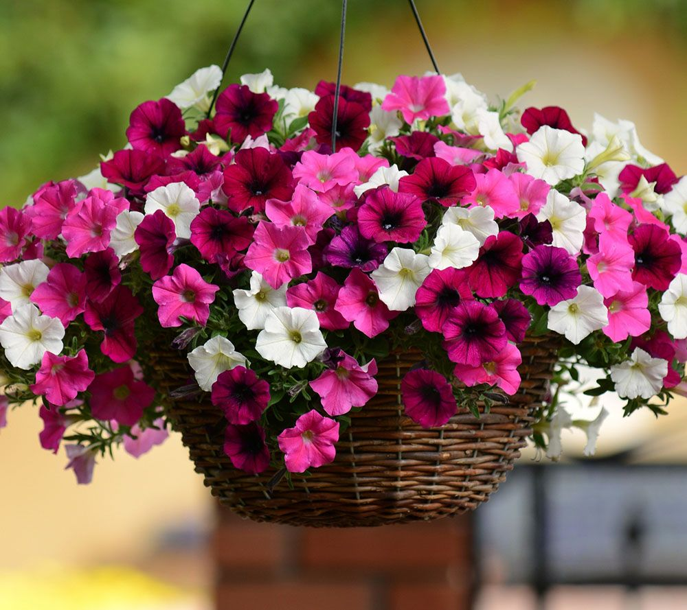 Cottage Farms Dazzling Design Passion Wave Petunia Col.