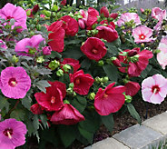 Cottage Farms 3-Pc Tropical Paradise Hardy Hibiscus Collection - M52683