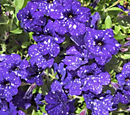 Cottage Farms 4-piece Night Sky Petunia Collection - M48984