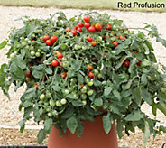 Robertas 6-pc Vegetalis Tasty Trailing Patio Tomatoes Auto-Delivery - M50584