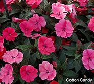 Cottage Farms 8-pc SunPatiens Passion in Pink - M53284