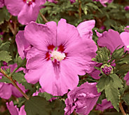 Cottage Farms Red Rose of Sharon Duo - M48986