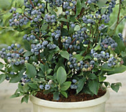 Cottage Farms 3-N-1 Homegrown Blueberry - M53286