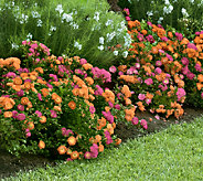 Cottage Farms 3-piece Tropical Sunset Rose Duo - M46287